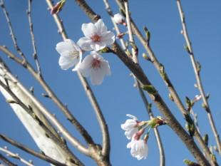 桜16.3.22