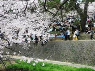 夙川桜16.4.3